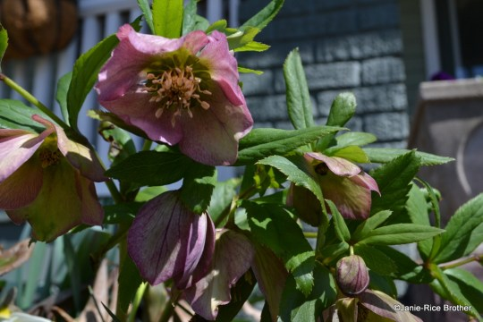 I adore my lenten roses. Although some caution against moving them often, mine have proved to be hardy travelers, and greet spring the earliest.