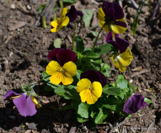 Johnny jump-ups (or railroad pansies, as my family calls them) turn their faces to the sun.