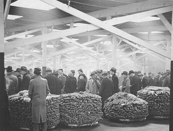 Buyers inspecting tobacco in a sales warehouse.
