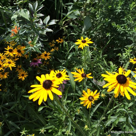 I usually have clumps of black-eyed susans intersperesed with the coneflowers...not sure how they drifted apart...ah, the mysteries of gardening.