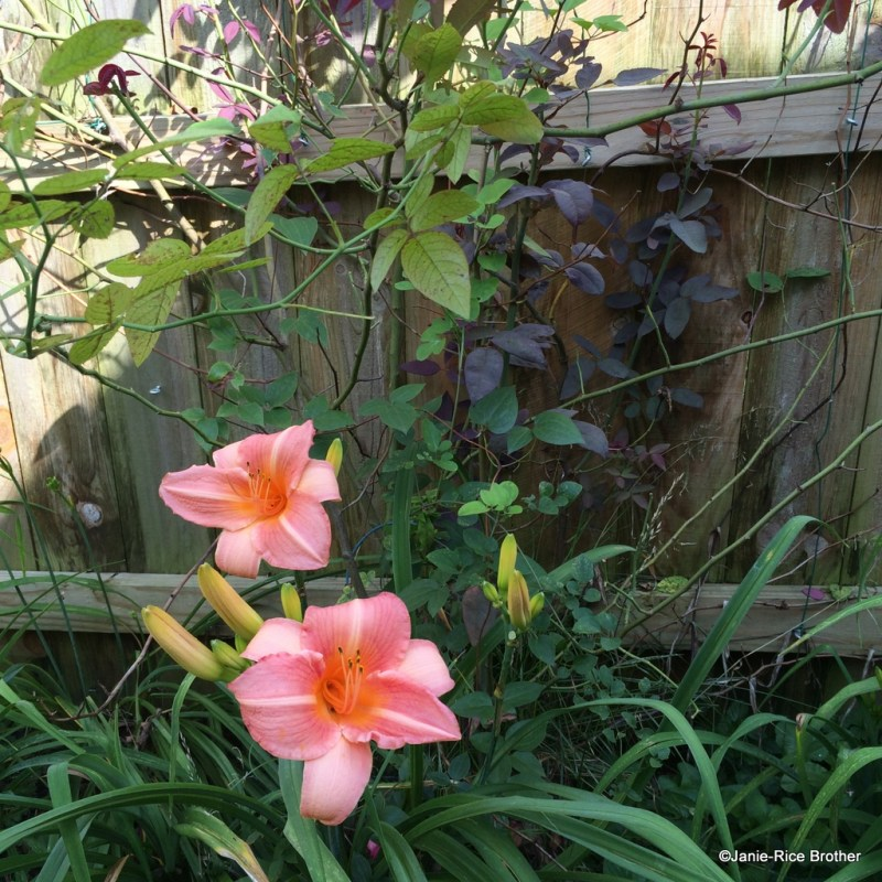 Although hard to tell, the clematis (I have no idea what kind) clustered in with the Zeppirine Drouhin rose is finally making progress this year, and the daylilies are as rambunctious as ever.