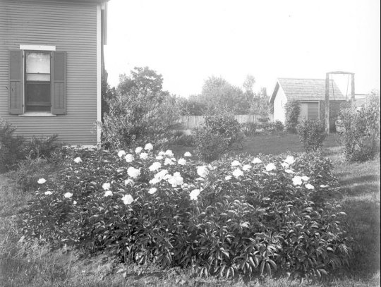 Peonies in the side yard of the Mathews Garden (and a young girl enjoying a swing in the background).