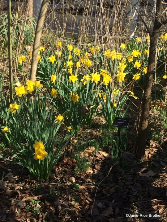 Truly my favorite flower - a host of golden daffodils hold sway in the Mathews Garden.