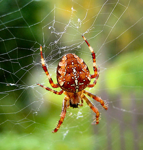 A Garden Spider hangs out in it's large orb shaped web.