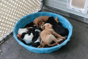 A litter of puppies napping in their kennel at the shelter.