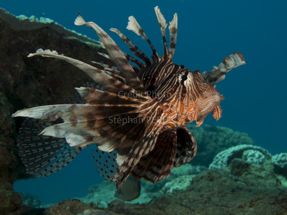 Pterois à la pause, Nouvelle-Calédonie
