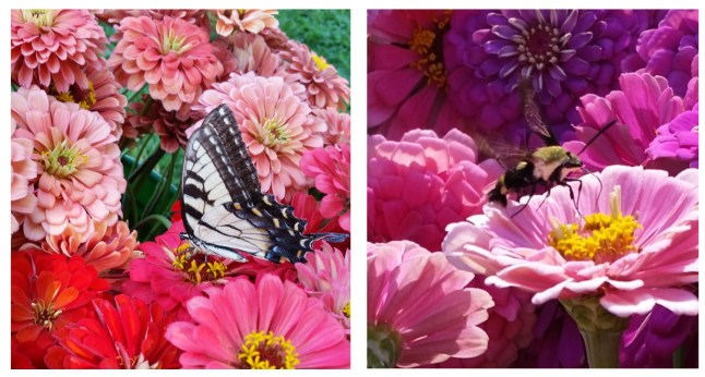 We have pollinators following our harvest trailer around the farm! Harvest buckets of zinnias with a swallowtail butterfly left and a hummingbird moth on right.