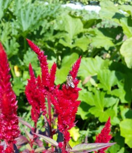 Planting flowers in the garden with your vegetables with ensure pollination. Celosia plume with a bumblebee.