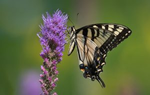 Tiger swallowtail butterfly on liatris flower