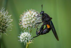 Adult Midas fly on white flower.