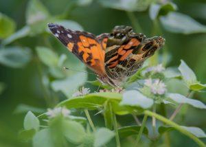 American Lady butterfly.