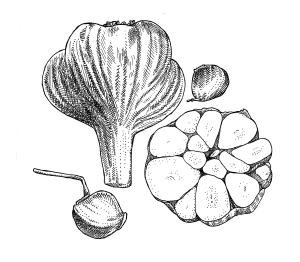Turban garlic bulb