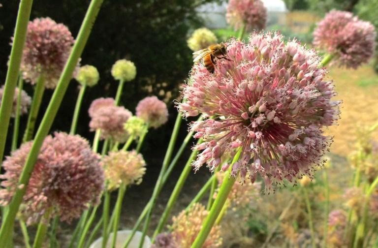 garlic flower pollination