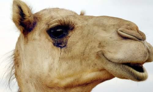 camel lashes with Bimatoprost