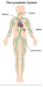 The lymph play an important role in the body's detoxification