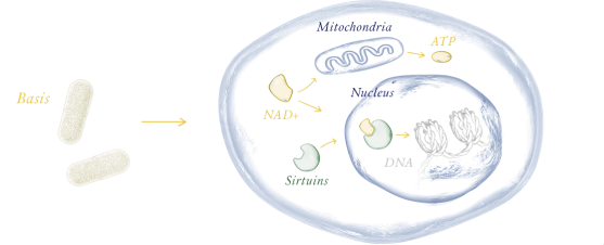 NAD rebuilds Mitochondria