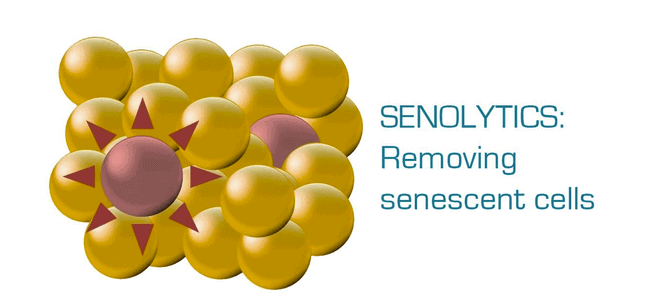 Can senolytics drugs delay aging?