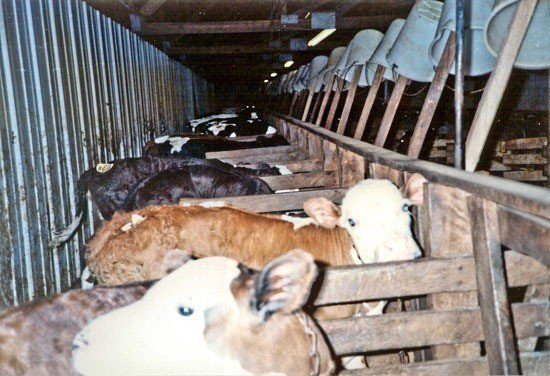 factory raised cows