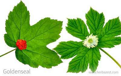 detox your gut with goldenseal