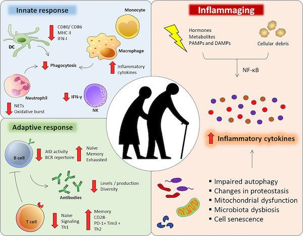 Reverse aging in humans