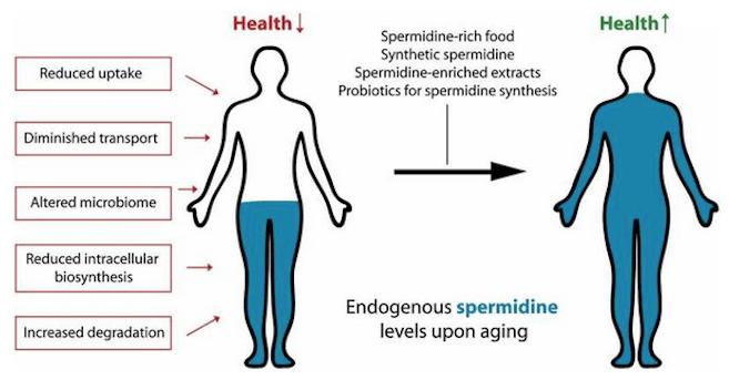 Spermidine-rich foods