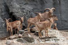 MS-Community beim Zoobesuch: Ziegenherde