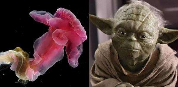 yoda-purpurata-e-mestre-yoda