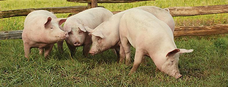 humanely-raised-pig-img