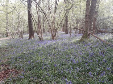 Bluebells in Selsdon nature reserve