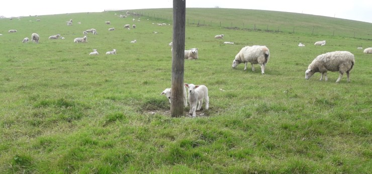 Lambs field