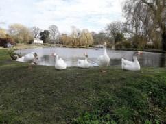 Pond geese