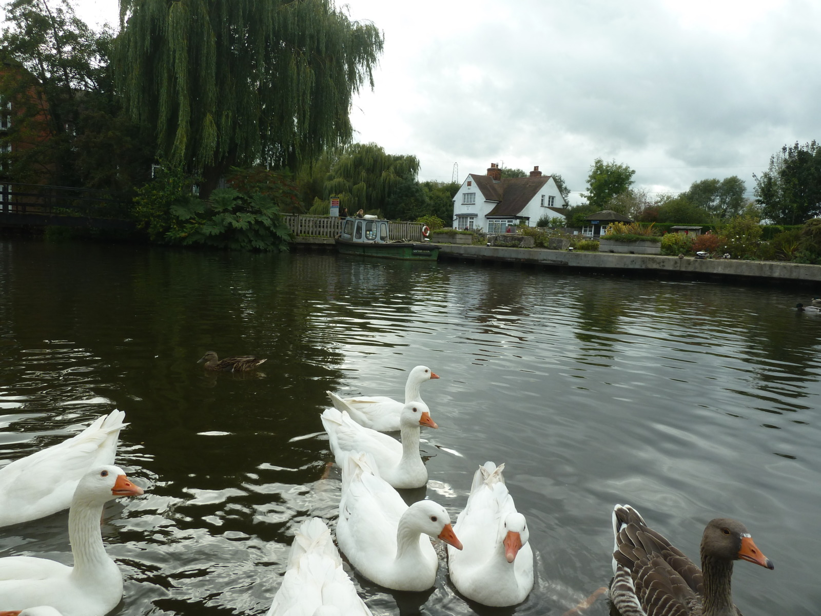 Ducks at Sandford Lock