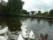 Ducks at Sandford Lock