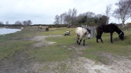 New Forest ponies at Hatchet pond