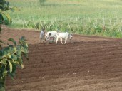 Ox and cart ploughing the field.