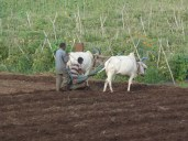 Ox and cart ploughing the field in Malsne