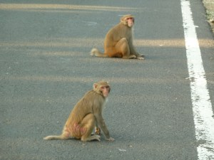 Monkeys in the road.