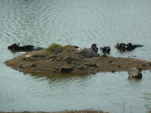 Cows cooling down