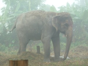 """Elephant in the """"Jungle Resort"""" Garry stayed at in Pithauli."""