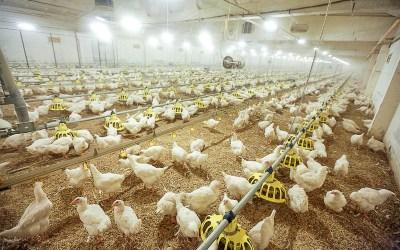 Ķekavas svaigā vistas gaļa – audzēta bez antibiotikām