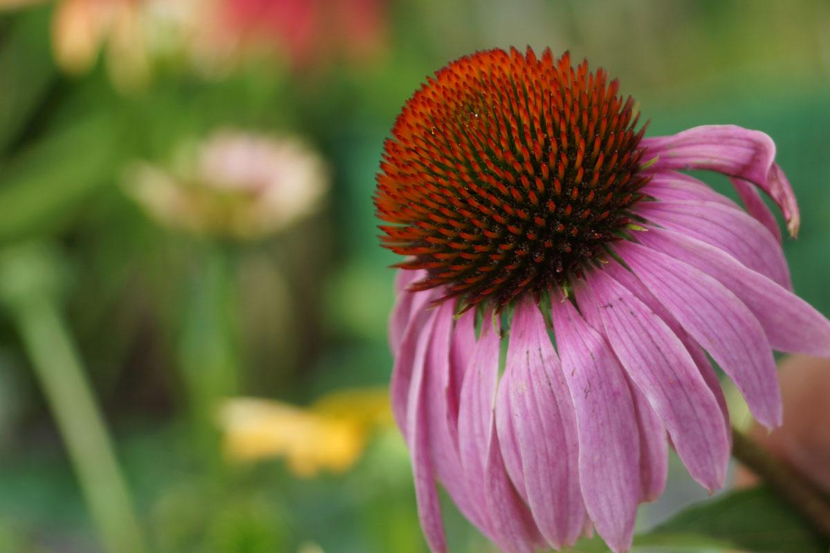 Echinacea Purpurea Blüte