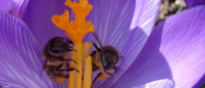 Innbegriff des Nützlings - die Biene