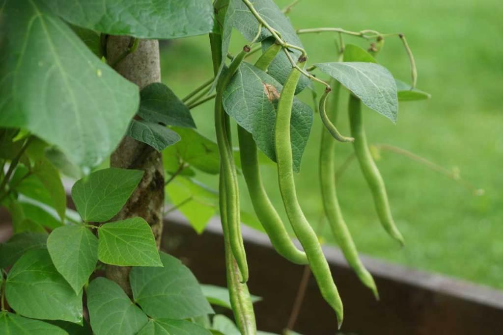Bohnen zur Erntezeit