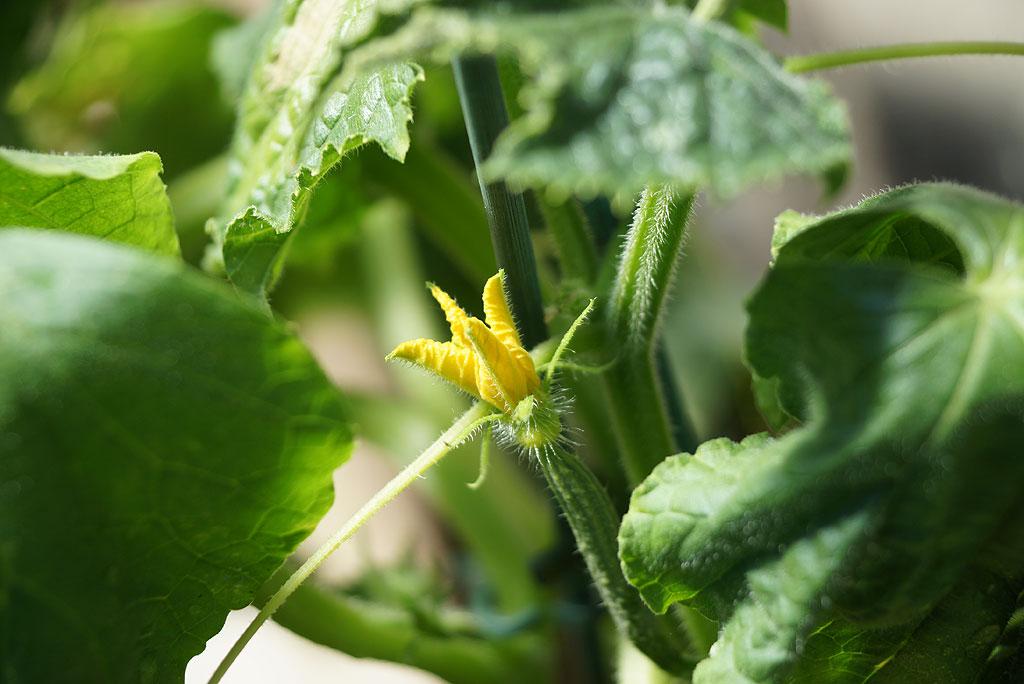 junge Gurkenpflanze