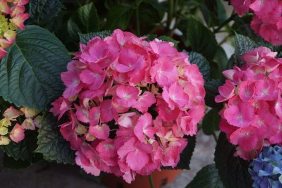 Rosa Hortensien (Hydrangea)