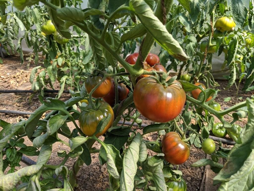 Tomaten vor der Ernte