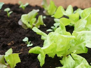 salat-hochbeet