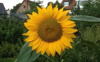 Sonnenblumen sen  Pflanzen fr nassen boden