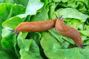 Nacktschnecken mit Salatblatt