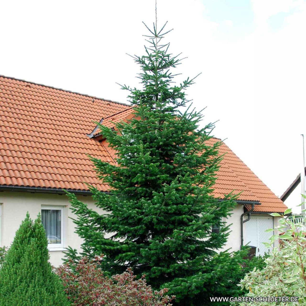 Nordmann-Tanne